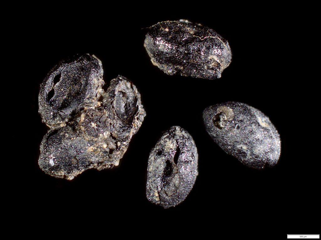 Ibland hade flera fröer klibbat ihop sig i klumpar när de brändes.